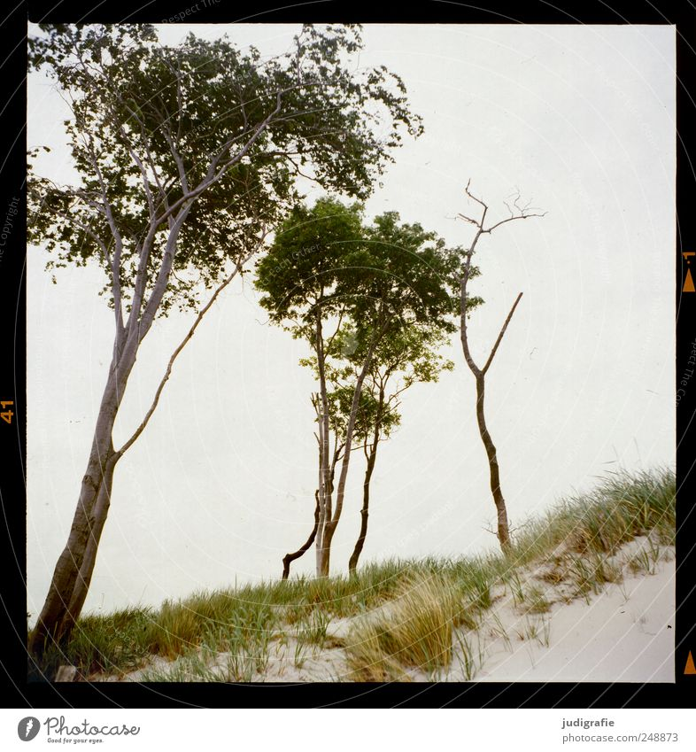 Weststrand Umwelt Natur Landschaft Pflanze Baum Gras Küste Strand Ostsee Meer Darß natürlich wild Farbfoto Außenaufnahme Menschenleer