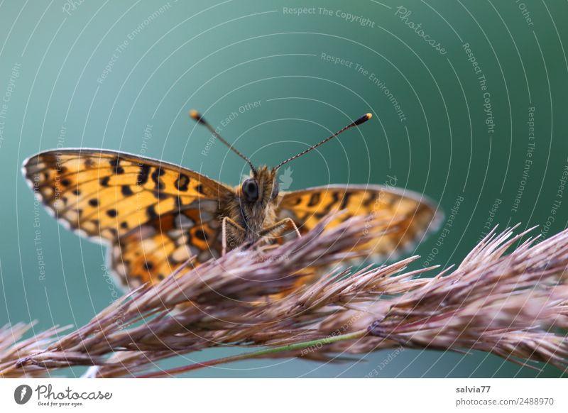 frei entfalten Umwelt Natur Sommer Gräserblüte Wiese Tier Schmetterling Tiergesicht Flügel Fühler Insekt Scheckenfalter 1 schön ästhetisch Zufriedenheit