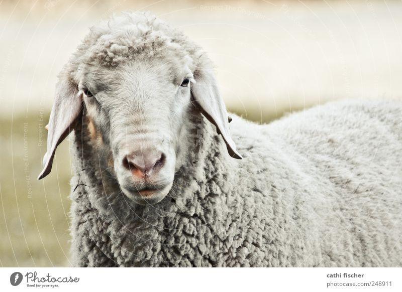 ein schaf Umwelt Natur Gras Tier Nutztier Wildtier Tiergesicht Fell Streichelzoo Schaf Ohr Nase Auge Schnauze 1 Denken Blick warten alt Coolness dreckig frech