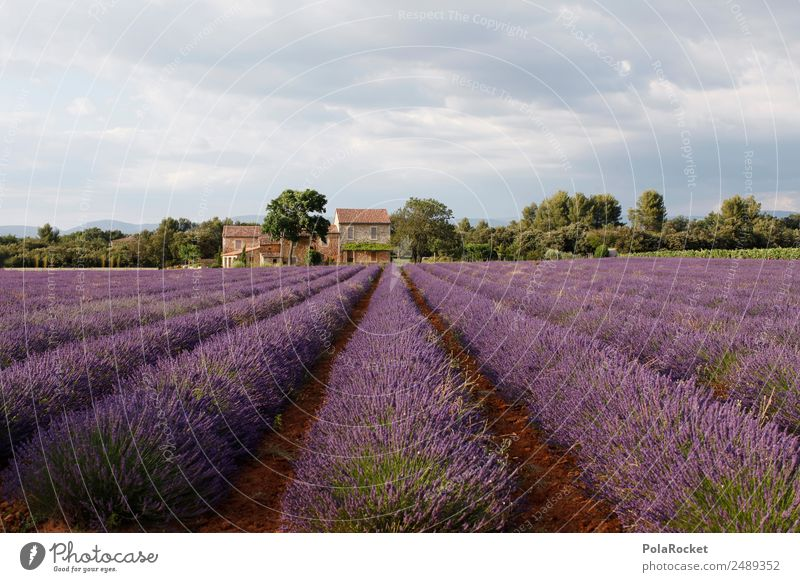 #A# Lila Landschaft Natur Pflanze Umwelt Feld ästhetisch Schönes Wetter Klima Landwirtschaft violett Frankreich Fernweh Tradition Lavendel Urlaubsfoto Provence