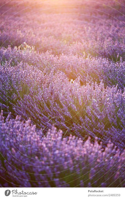 #A# Lila Schein Natur Pflanze Landschaft Sonne Umwelt Frühling Wiese Garten Feld ästhetisch Schönes Wetter Blühend Klima violett Frankreich Kitsch
