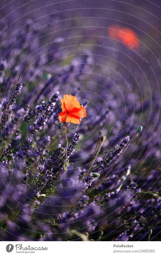 #A# Lavendel-Rot Umwelt Natur Landschaft Pflanze Kitsch violett rot Lavendelfeld Lavendelernte Mohnblüte Frankreich Provence Blühend Blühende Landschaften