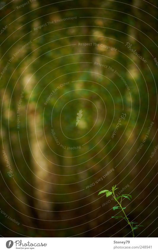 Brombeere Natur grün Baum Pflanze Sommer Blatt ruhig Einsamkeit Wald klein Kraft Beginn Hoffnung Sträucher einzigartig geheimnisvoll