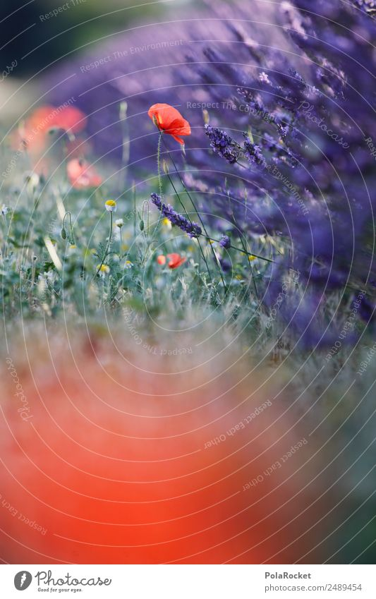 #A# Wegesrand-Romantik Natur Pflanze Landschaft rot Umwelt Wiese Garten Park Feld ästhetisch Schönes Wetter Blühend violett Mohn Lavendel Wegrand