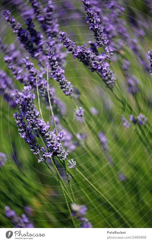 #A# Lila Wind Umwelt Natur Landschaft Pflanze ästhetisch Lavendel Lavendelfeld Lavendelernte wehen Feldrand violett Blume Blühend Blühende Landschaften