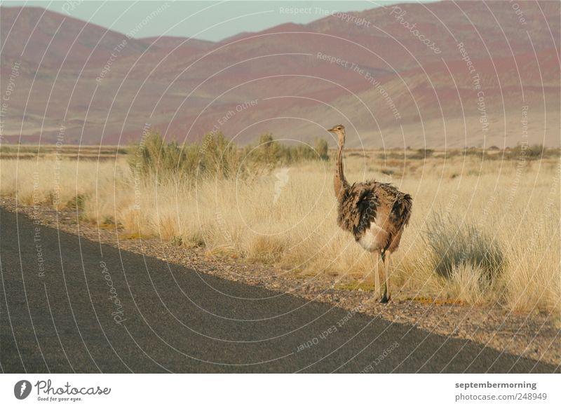 Strauß Tier Straße Landschaft stehen Hügel