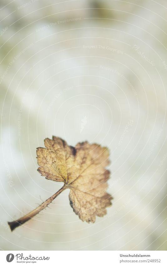 Falling Natur alt Blatt Einsamkeit Herbst Umwelt Stimmung braun natürlich Vergänglichkeit Ende fallen Verfall Jahreszeiten verblüht herbstlich