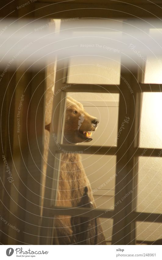 Da ist der Bär los Fenster Tier Braunbär 1 Aggression bedrohlich dunkel Ferne frei groß hell wild Überraschung träumen Angst Respekt ausgestopft Tierpräparat