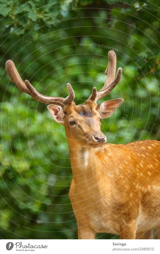 Jägermeister Natur Pflanze Tier Baum Sträucher Park Wiese Wald Wildtier Tiergesicht Fell Fährte Zoo 1 beobachten Blick Damwild Rothirsch Horn Hirschgeweih