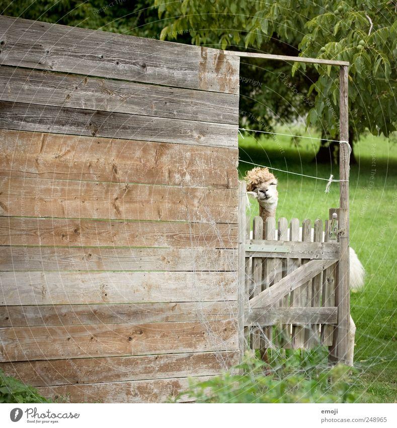 HEADBANGING Tier Nutztier Zoo Streichelzoo 1 lustig Lama Tiergesicht Farbfoto Außenaufnahme Menschenleer Textfreiraum links Tag Holzwand Holzzaun Stall