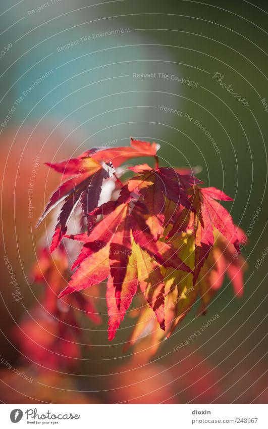 herbstlich(t) Umwelt Natur Pflanze Baum Blatt Japanischer Ahorn Garten Park Japanischer Garten leuchten natürlich mehrfarbig Warmherzigkeit Herbst Herbstlaub