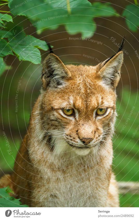 Luchs mit Blick auf die Beute Katze Tier Bewegung Wildtier Fell Jagd Zoo Tiergesicht Fressen Fährte
