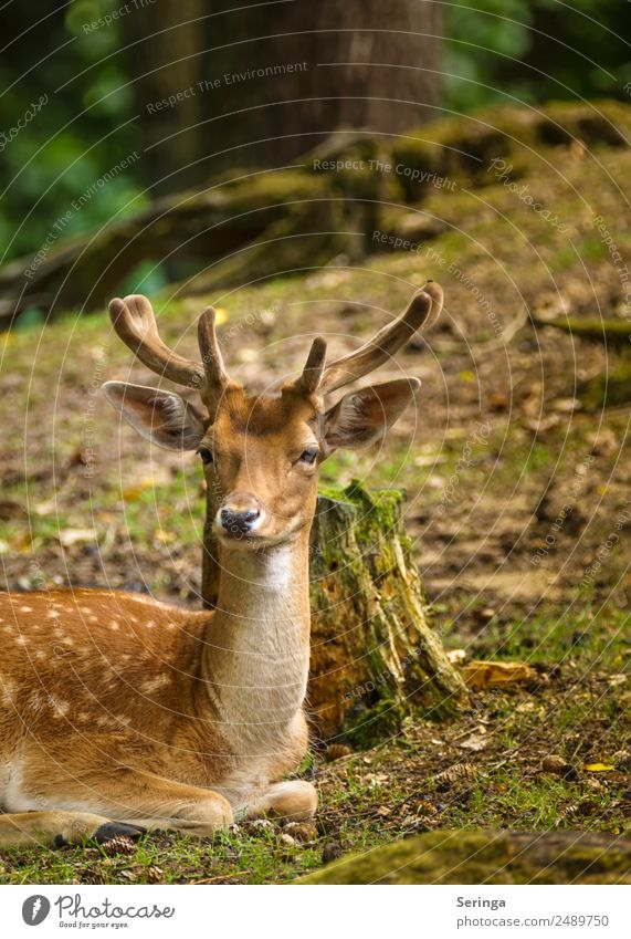 Einfach mal Chillen Tier Wildtier Tiergesicht Fell Fährte 1 Fressen Damwild Hirsche Horn Rothirsch Farbfoto mehrfarbig Außenaufnahme Menschenleer