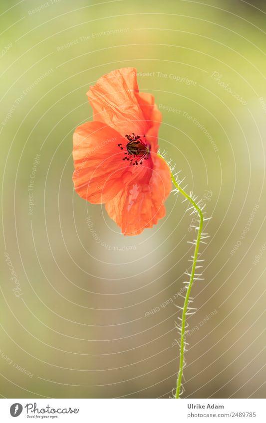 Mohnblüte Natur Sommer Pflanze grün Blume rot Erholung ruhig Leben Innenarchitektur Blüte Feste & Feiern Design Zufriedenheit Dekoration & Verzierung Geburtstag