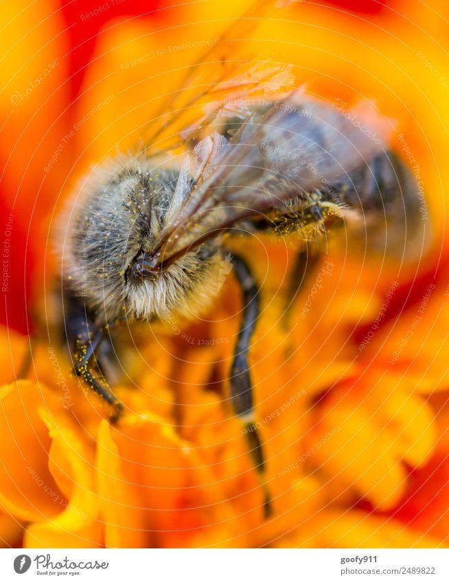 Den Kopf in die Blüte stecken elegant Sommer Sonne Umwelt Natur Sonnenlicht Frühling Blume Garten Park Wiese Tier Nutztier Wildtier Biene Flügel Fell 1 Blühend