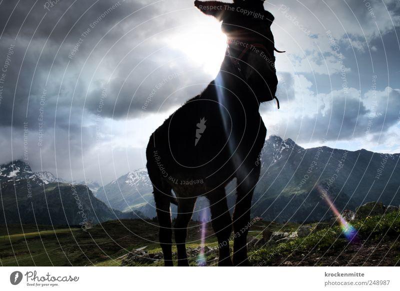¡Ay, ay, ay, un burro amoroso! Himmel Natur blau grün Sonne Wolken Tier Berge u. Gebirge Landschaft Felsen bedrohlich Hügel leuchten Alpen Schweiz Gipfel