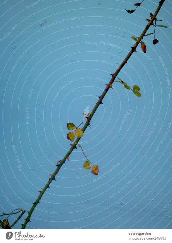 traurige pflanze. Gartenarbeit Umwelt Natur Pflanze Sommer Herbst schlechtes Wetter Sträucher Rose Blatt Grünpflanze Mauer Wand Linie dunkel blau schwarz
