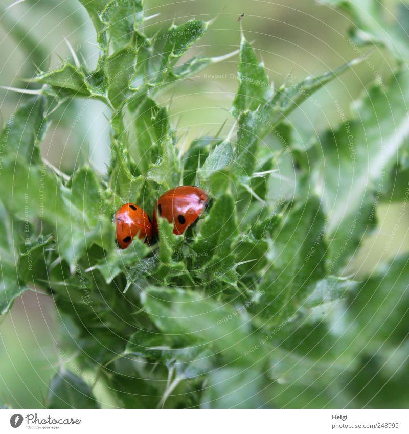 verstecktes Glück... Umwelt Natur Pflanze Sommer Blatt Grünpflanze Wildpflanze Distelblatt Tier Wildtier Käfer 2 Erholung schlafen Wachstum ästhetisch