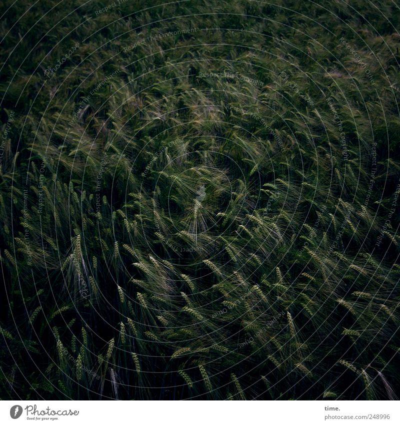 Poesie & Rebellion Lebensmittel Getreide Landwirtschaft Forstwirtschaft Umwelt Natur Pflanze Wind Feld Wachstum dunkel Gesellschaft (Soziologie) Kornfeld Ähren