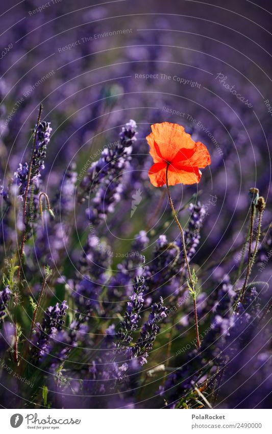 #A# Roter Punkt im Lilameer Natur Landschaft rot Umwelt Feld ästhetisch Schönes Wetter Klima violett Frankreich Mohn Lavendel Mohnfeld Provence Mohnblüte