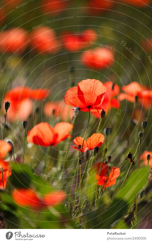 #A# Rotes Feld Kunst ästhetisch Mohn Mohnblüte Mohnfeld Mohnblatt rot Frankreich Provence Blume Wiesenblume Idylle Farbfoto mehrfarbig Außenaufnahme Nahaufnahme