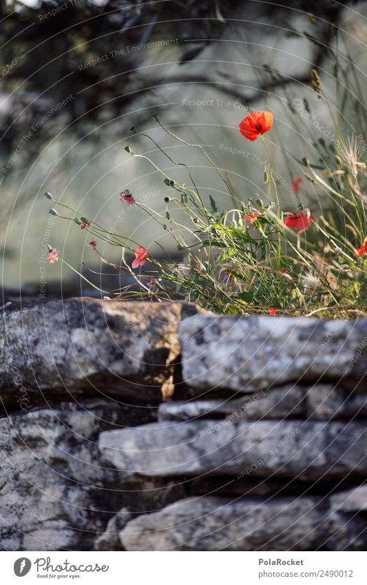 #A# Mauerblümchen Natur Pflanze Landschaft Wald Umwelt Wiese Garten Park ästhetisch Idylle Schönes Wetter Klima Frankreich Mohn Provence