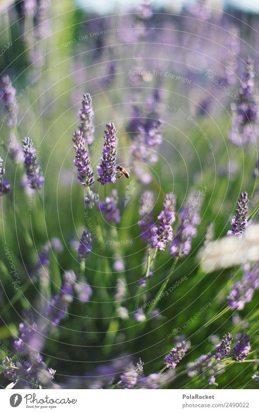 #A# Little Bee Umwelt Natur Landschaft Pflanze Tier ästhetisch Lavendel Lavendelfeld Lavendelernte violett Blüte Blühend Blühende Landschaften Wind wehen
