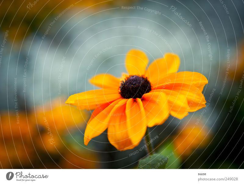 Blümchen Sommer Pflanze Blume Blüte Blühend Wachstum Freundlichkeit schön gelb Lebensfreude Blütenblatt Sonnenhut Korbblütengewächs Zierpflanze orange