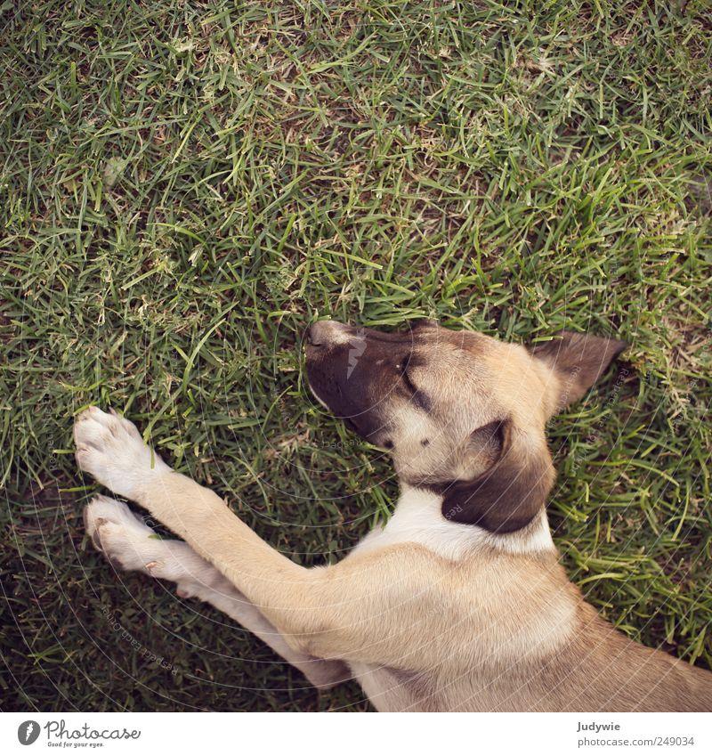 Schlafmütze Hund Natur grün Sommer Tier ruhig Erholung Umwelt Wiese klein träumen Tierjunges braun Zufriedenheit liegen schlafen