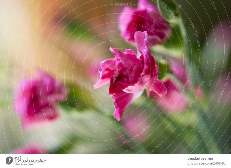 blümchen für alle! Pflanze Blume Blüte Nelkengewächse Blühend Duft frisch natürlich rosa Farbfoto Nahaufnahme Detailaufnahme Makroaufnahme Menschenleer