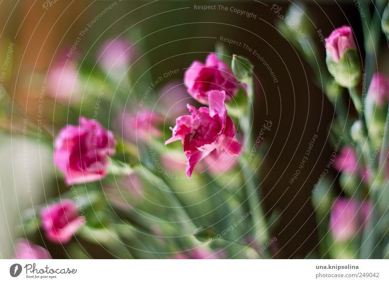 blümchen-nachschub Natur Pflanze Blüte rosa frisch natürlich Blühend Duft Nelkengewächse