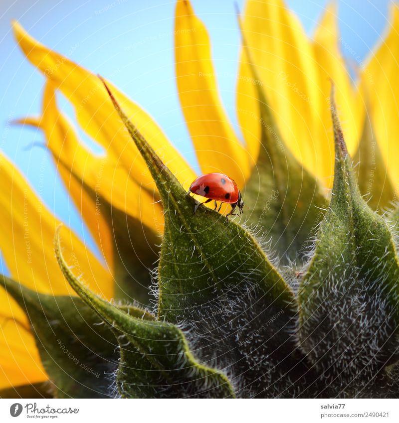 walk on the sunflower Natur Pflanze Tier Himmel Sonne Sommer Blume Blüte Nutzpflanze Sonnenblume Garten Käfer Marienkäfer Siebenpunkt-Marienkäfer Insekt
