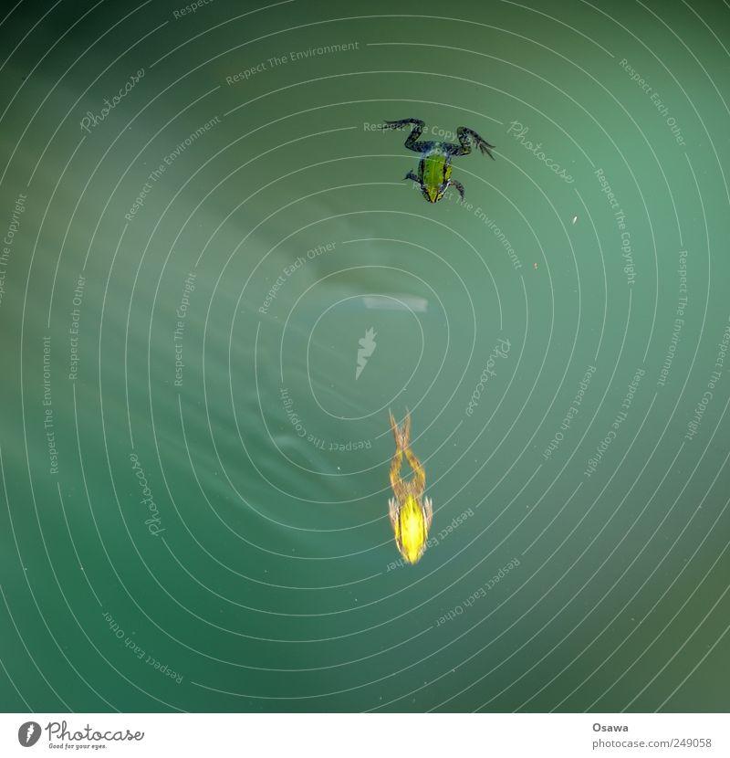 Frösche Wasser grün Tier kalt klein nass Schwimmen & Baden Im Wasser treiben Frosch Teich Textfreiraum Lichtbrechung Gewässer Amphibie Froschlurche Schwimmhaut