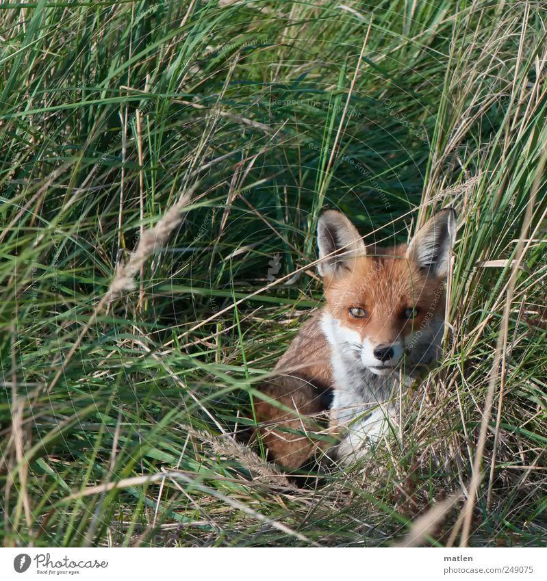 el zorro Gras Wiese Tier Wildtier 1 liegen braun grün Starrer Blick Überraschung Fuchs verstecken Außenaufnahme Menschenleer Tag Tierporträt Vorderansicht