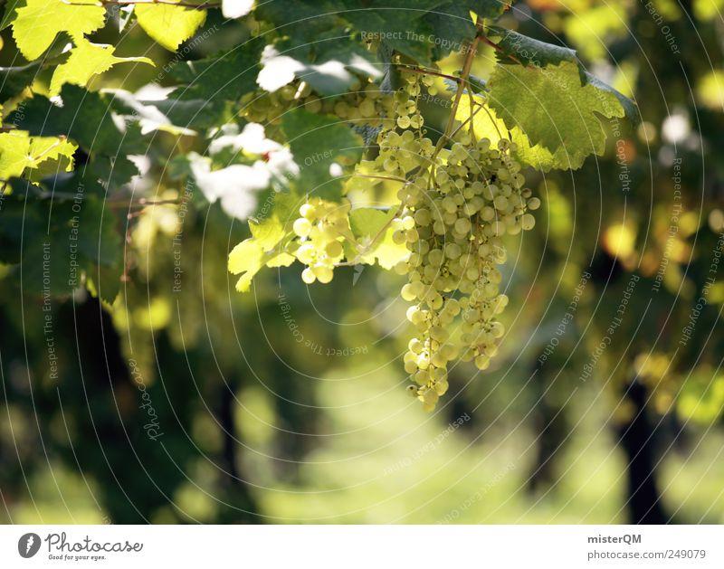 Riesling. Natur Pflanze Umwelt Landschaft ästhetisch Wein Kultur Italien Gastronomie reif hängen saftig Gegend Qualität Weintrauben Weinlese