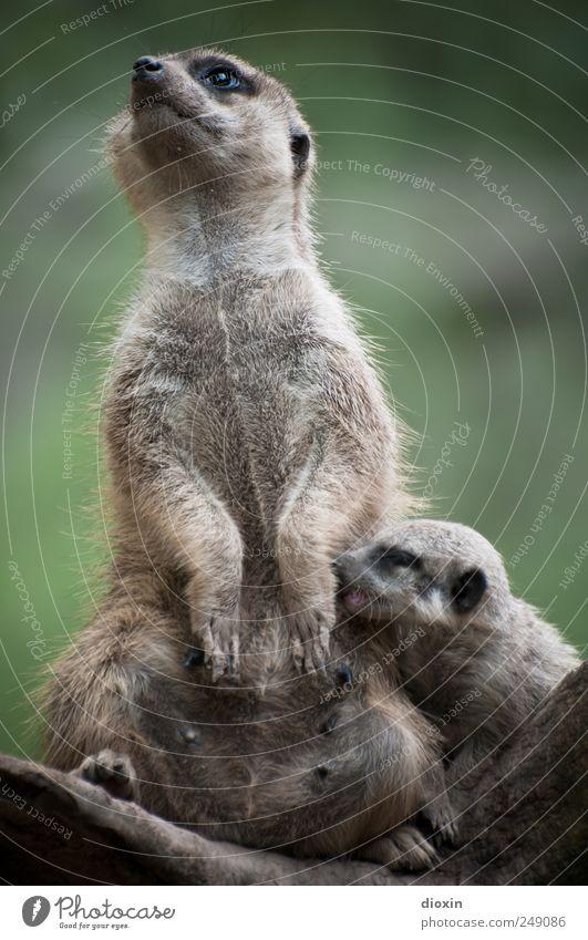 Multitasking Mama Tier Fell Pfote Zoo Erdmännchen Säugetier 2 Tierjunges Fressen füttern kuschlig natürlich niedlich Schutz Warmherzigkeit Zusammensein