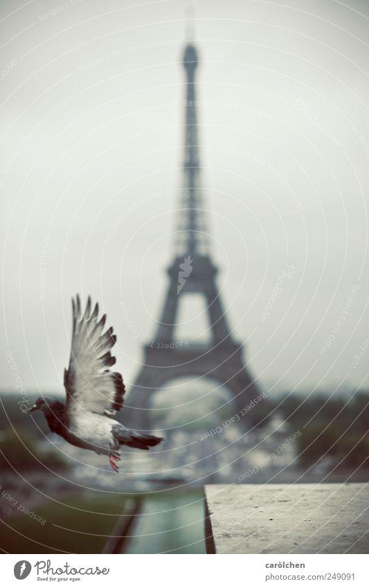 Pariser Abflug 1 Tier grau Tour d'Eiffel Taube fliegen fliegend Flügel Flugzeugstart Farbfoto Gedeckte Farben Außenaufnahme Menschenleer Schwache Tiefenschärfe