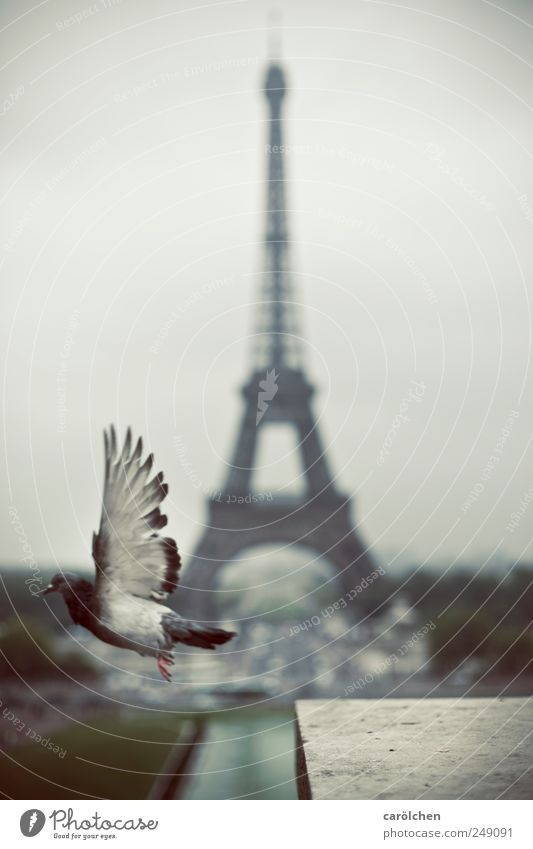 Pariser Abflug Tier grau fliegen Flügel Flugzeugstart Taube fliegend Tour d'Eiffel