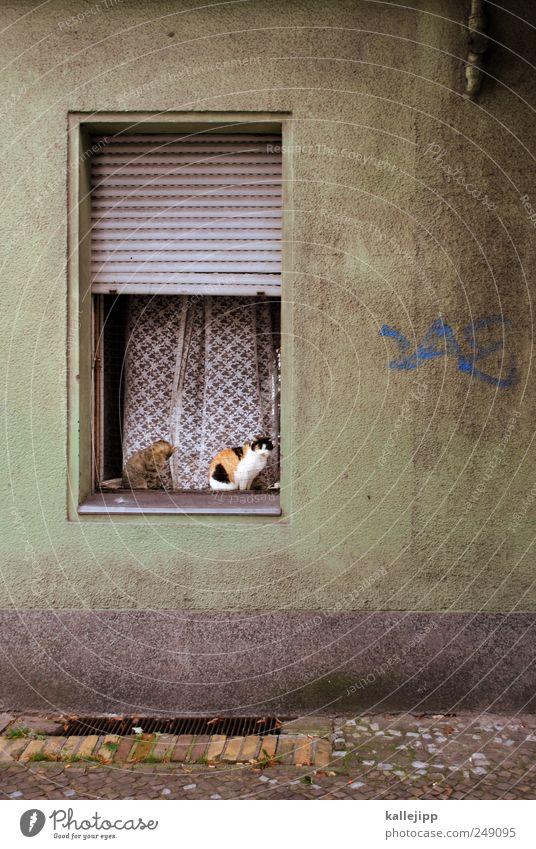 katzenjammer Haus Fenster Tier Haustier Katze sitzen Rollladen Jalousie Fensterbrett 2 Vorhang Bürgersteig Wohnung Häusliches Leben offen Farbfoto