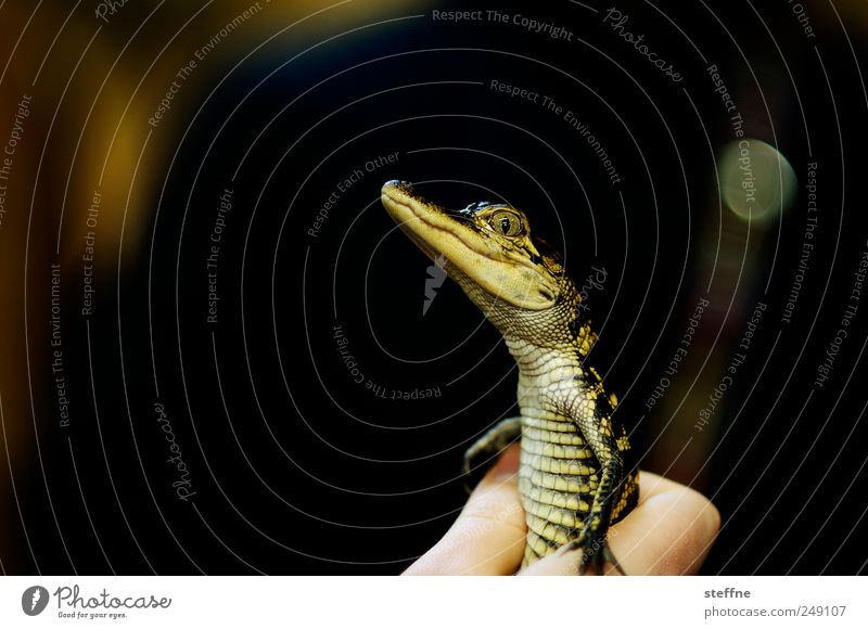Lacoste Tier klein Tierjunges Wildtier niedlich Krokodil Alligator