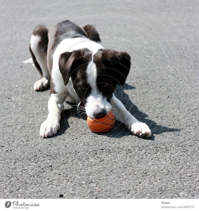 Schade, dass sein Geknurre nicht zu hören ist... Freude Tier Hund Leben Spielen lustig warten liegen Ball beobachten Neugier Lebensfreude frech Haustier klug Tierliebe