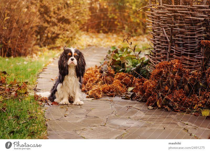 Spanischer Hund beim Spaziergang im Novembergarten Freizeit & Hobby Garten Natur Landschaft Wolken Herbst Sträucher Blatt Haustier Stein nass braun Farbe