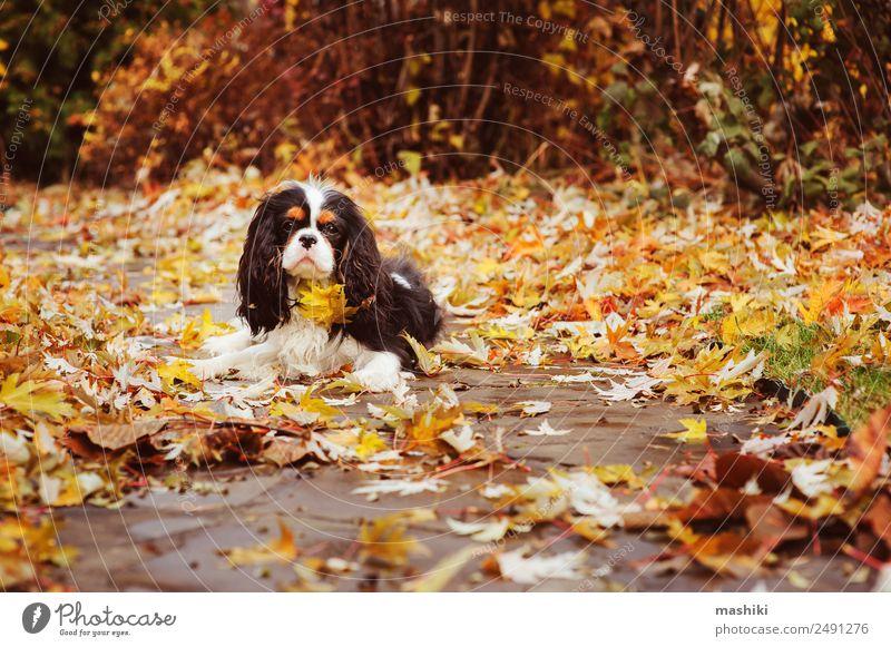 Spaniel Hund unter einem Marmorbaum sitzend Garten Natur Baum Blatt Haustier nass cavalier king charles marmorieren Boden orange Spätherbst Jahreszeiten