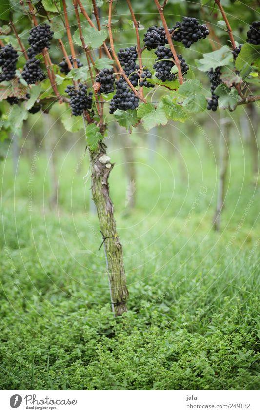 weinstock Lebensmittel Frucht Bioprodukte Vegetarische Ernährung Umwelt Natur Pflanze Blatt Grünpflanze Nutzpflanze Weintrauben ästhetisch natürlich wild blau