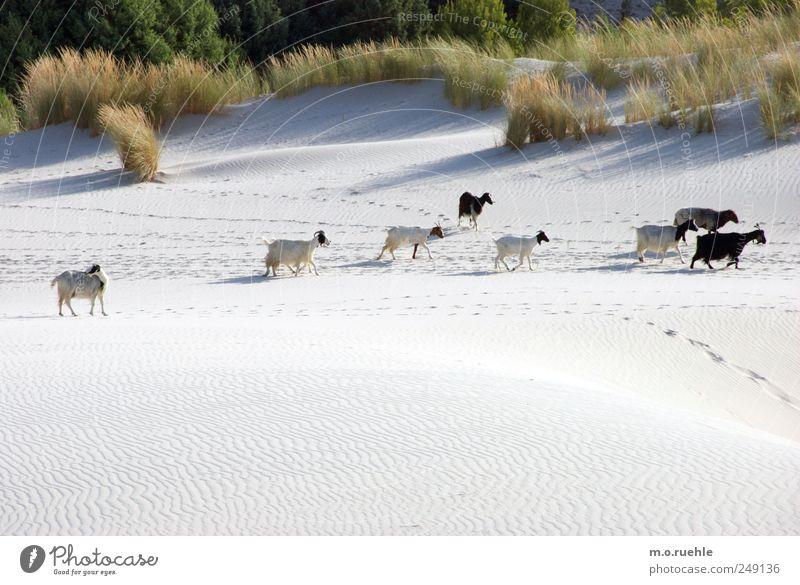 Und wir werden weiterziehen, im Sonnenschein und im Schatten Natur Strand Umwelt Landschaft Gras Sand Küste Stimmung gehen Insel frei wild authentisch Tiergruppe niedlich Freundlichkeit