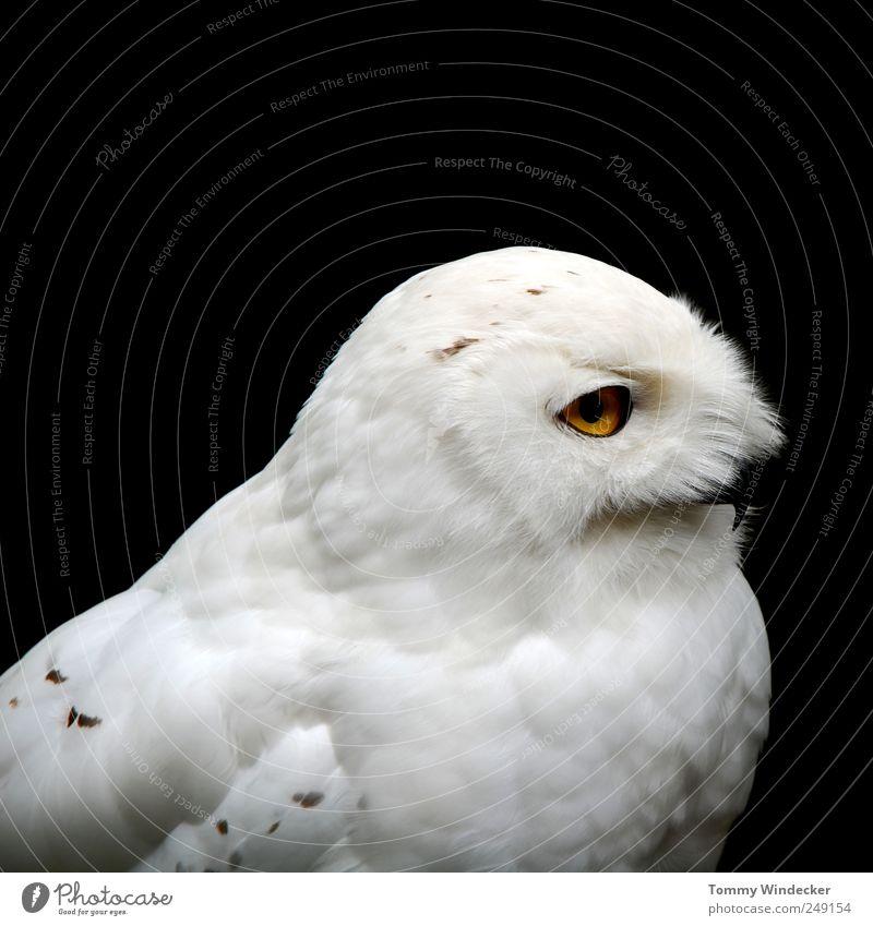 Bubo scandiacus Natur Tier Wildtier Vogel Schnee-Eule Uhu Kauz beobachten fliegen Jagd weiß Umwelt Greifvogel Landraubtier Feder bedrohlich selten Eulenvögel