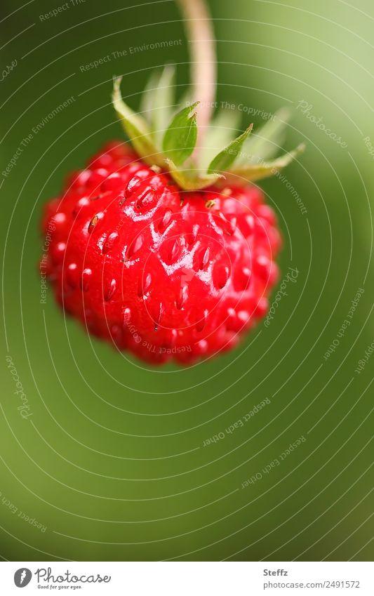 Wald-Erdbeere IV Frucht Beeren Erdbeeren Natur Sommer Pflanze Sträucher Nutzpflanze Garten frisch lecker rund saftig schön süß grün rot Sommergefühl Juni