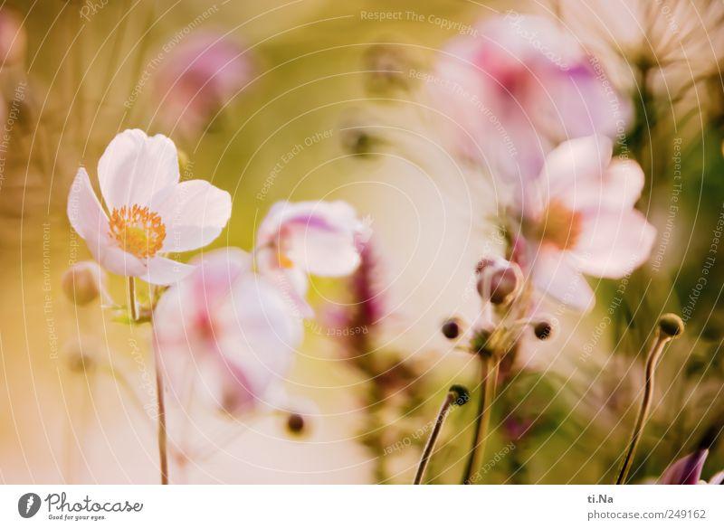 Flower of Power grün schön Pflanze Sommer Blume gelb Blüte hell rosa Wachstum Sträucher Idylle Freundlichkeit Blühend Duft Jahreszeiten