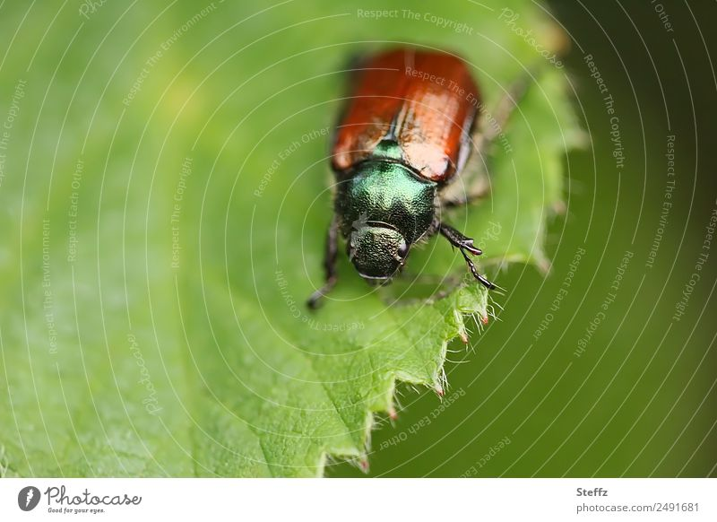 Japankäfer Umwelt Natur Pflanze Tier Sommer Klima Blatt Wald Käfer Popillia japonica Insekt Schädlinge Pflanzenschädlinge Pflanzenfresser Käferbein 1 Fressen