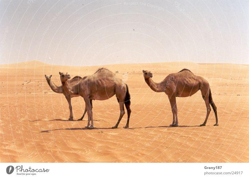 Cameltreiben Ferien & Urlaub & Reisen groß Wüste Asien Plakat Zigarettenmarke Werbefachmann